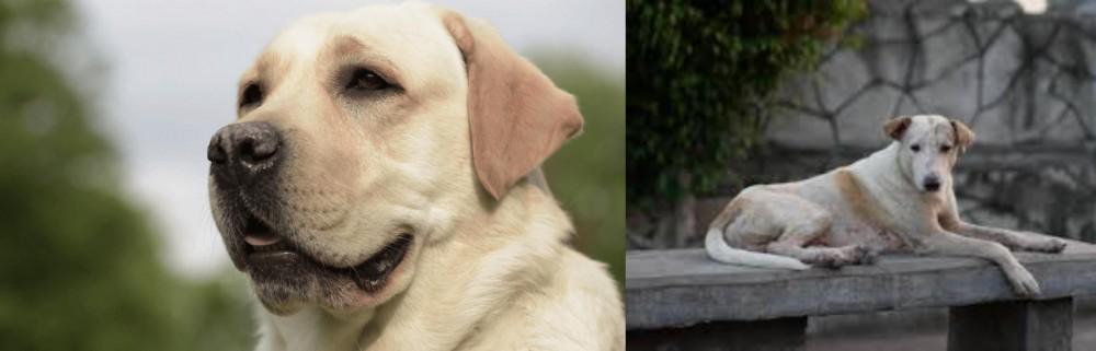 Askal vs Labrador Retriever