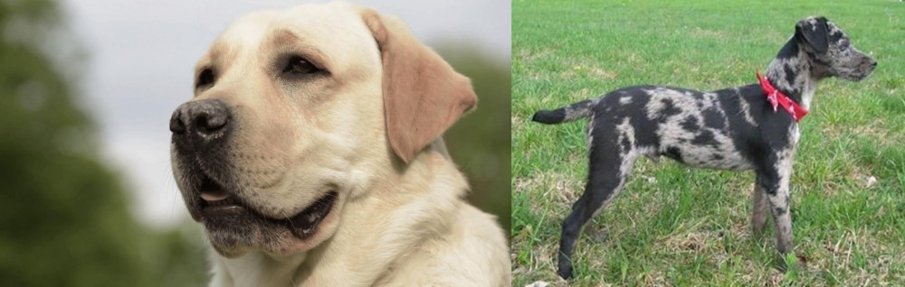 Atlas Terrier vs Labrador Retriever