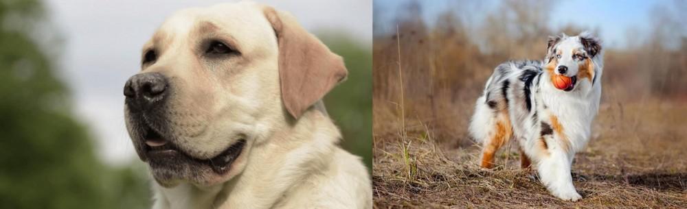 Australian Shepherd vs Labrador Retriever