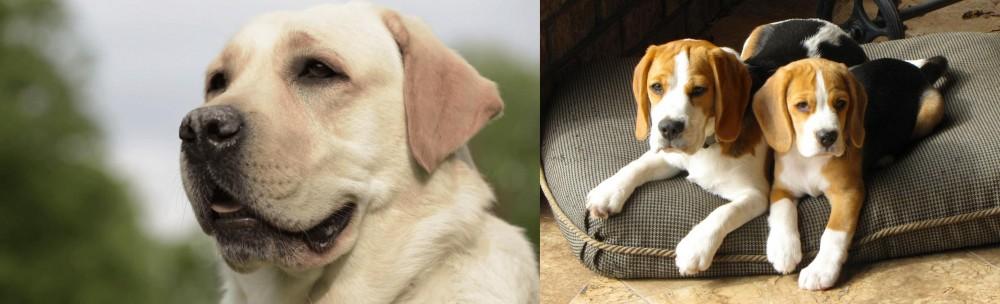 Beagle vs Labrador Retriever