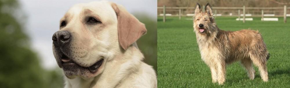 Berger Picard vs Labrador Retriever