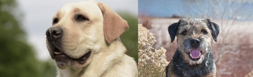 Border Terrier vs Labrador Retriever