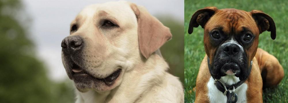 Boxer vs Labrador Retriever