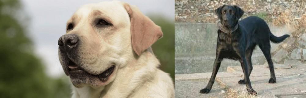 Cao de Castro Laboreiro vs Labrador Retriever