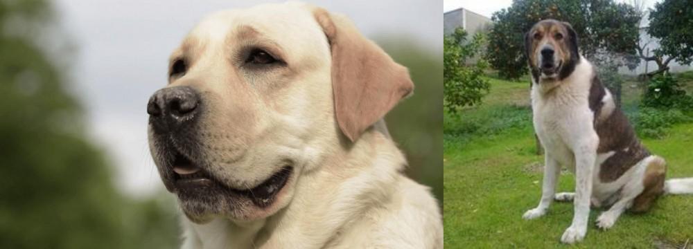 Cao de Gado Transmontano vs Labrador Retriever