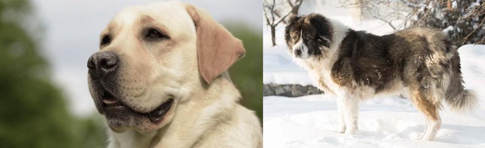 Caucasian Shepherd vs Labrador Retriever