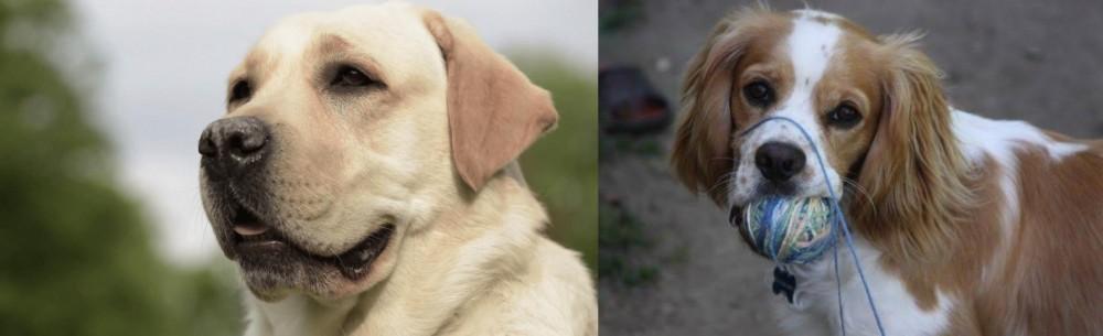 Cockalier vs Labrador Retriever