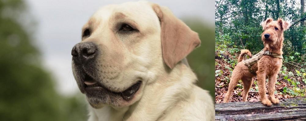 Irish Terrier vs Labrador Retriever
