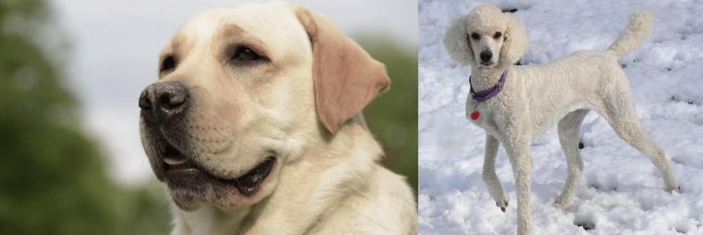 Poodle vs Labrador Retriever