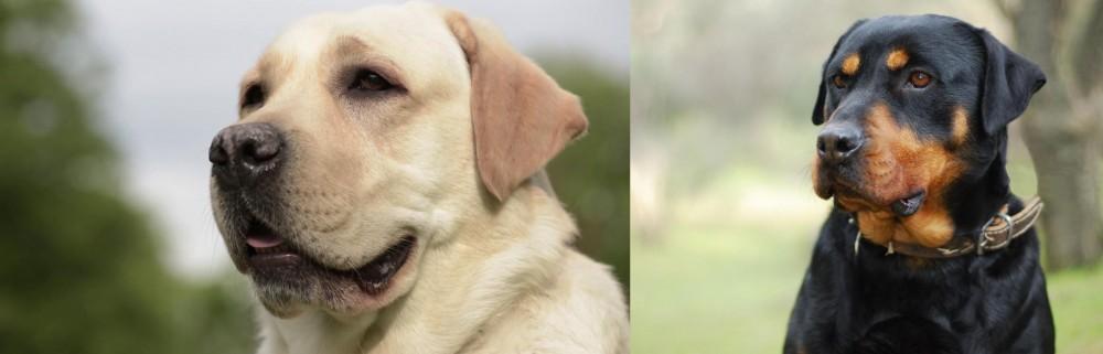 Rottweiler vs Labrador Retriever