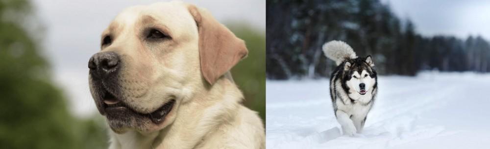 Siberian Husky vs Labrador Retriever