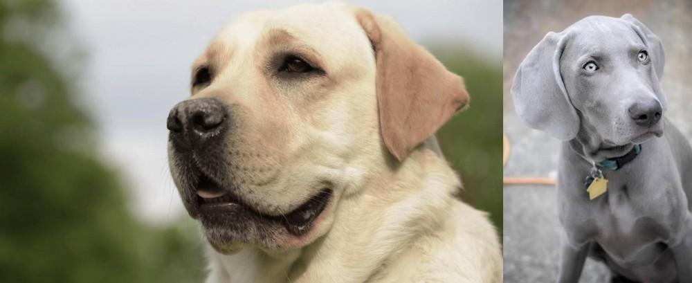Weimaraner vs Labrador Retriever