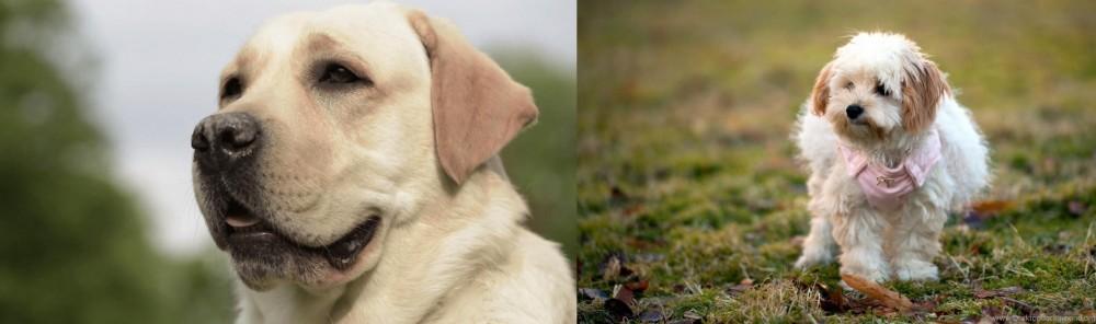 West Highland White Terrier vs Labrador Retriever