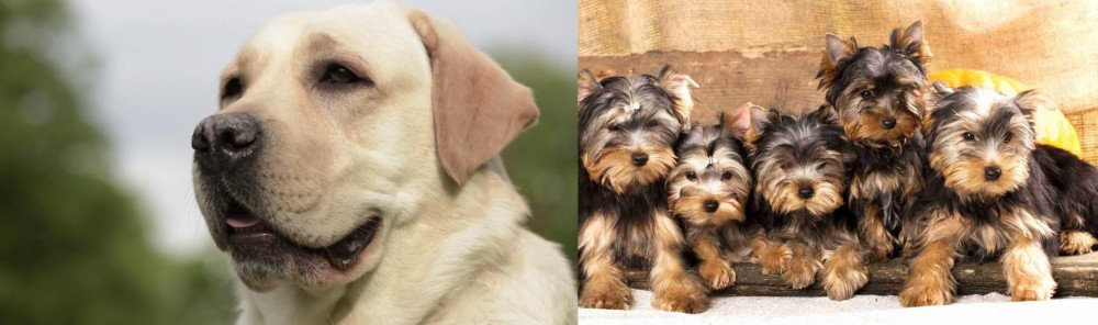 Yorkshire Terrier vs Labrador Retriever