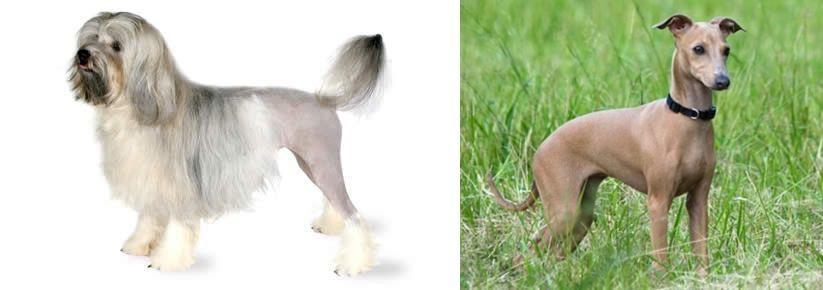 Lowchen vs Italian Greyhound