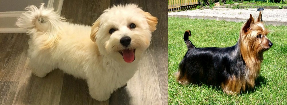 Maltipoo vs Australian Silky Terrier