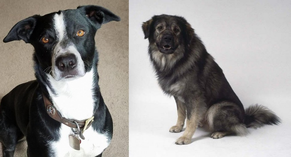 McNab vs Istrian Sheepdog