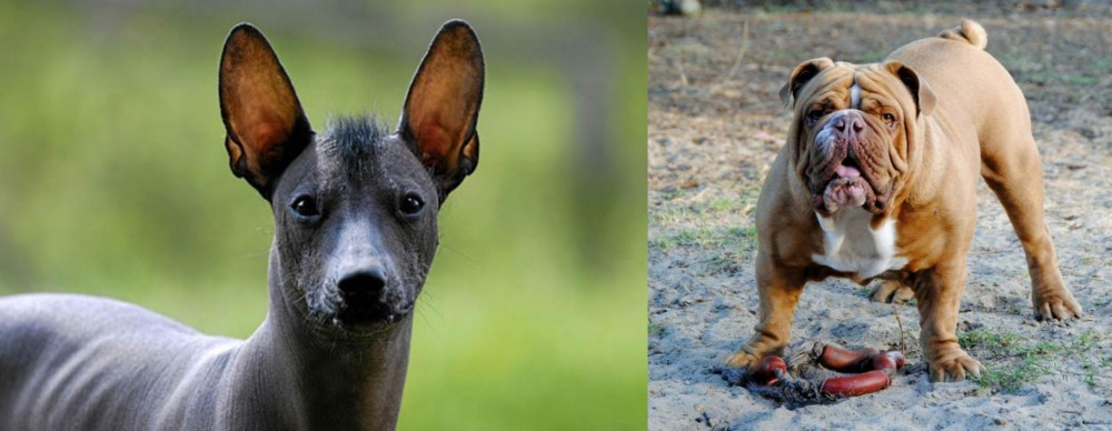 Mexican Hairless vs Australian Bulldog