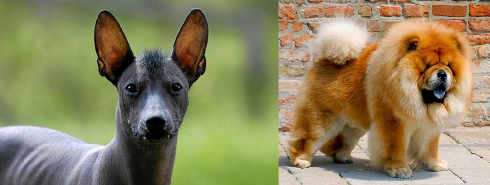 Mexican Hairless vs Chow Chow