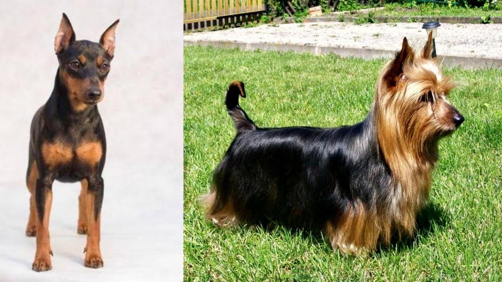 Miniature Pinscher vs Australian Silky Terrier