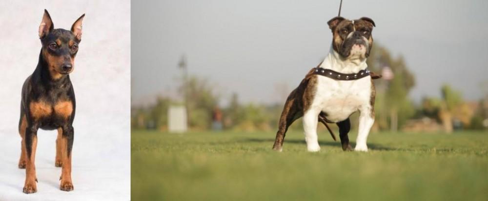 Miniature Pinscher vs Bantam Bulldog