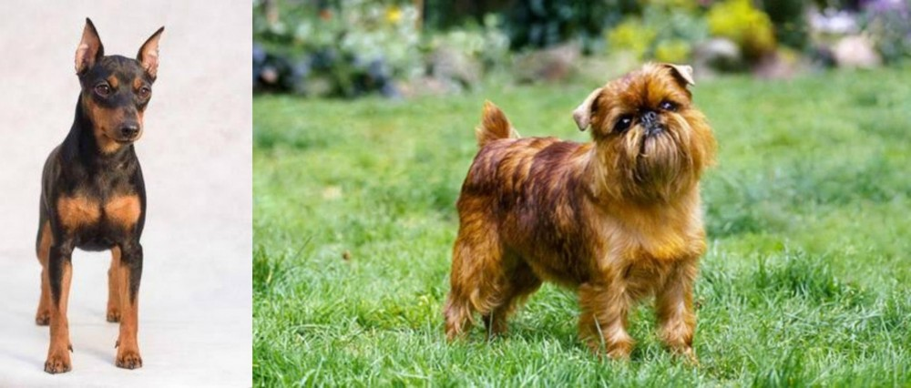 Miniature Pinscher vs Belgian Griffon