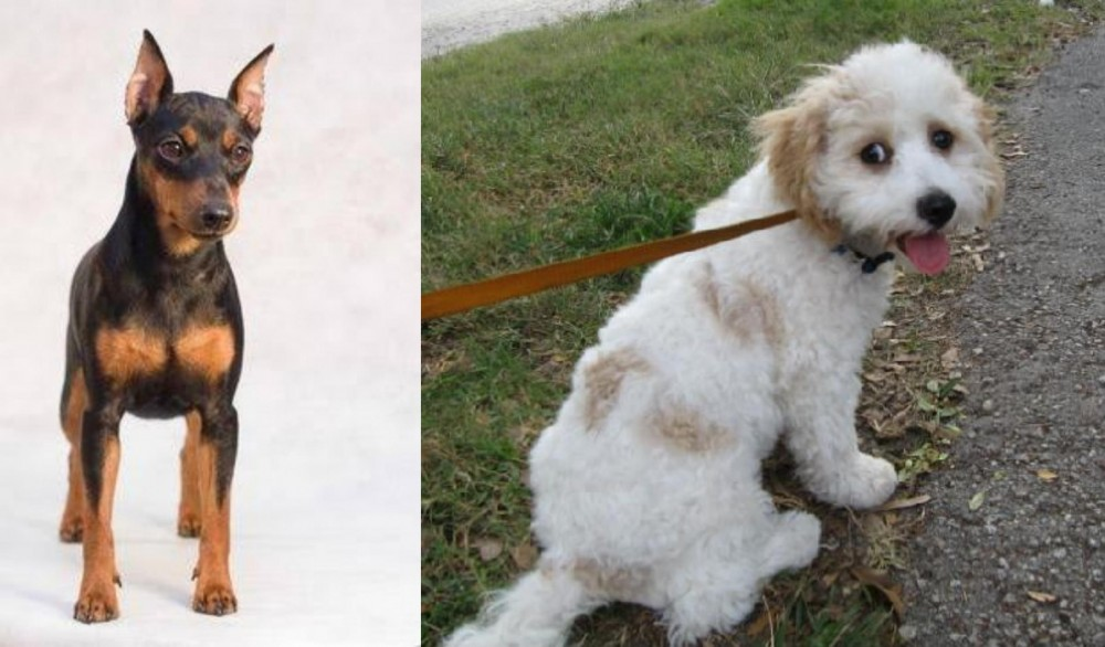 Miniature Pinscher vs Cavachon