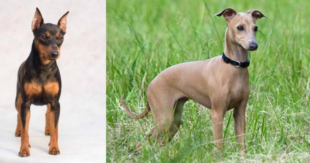 Miniature Pinscher vs Italian Greyhound