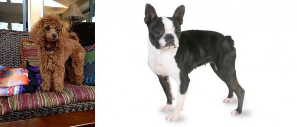 Miniature Poodle vs Boston Terrier - Breed Comparison
