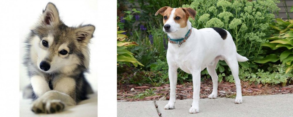 Miniature Siberian Husky vs Danish Swedish Farmdog