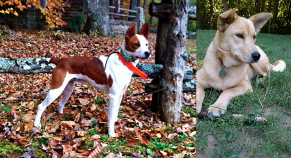 Mountain Feist vs Carolina Dog