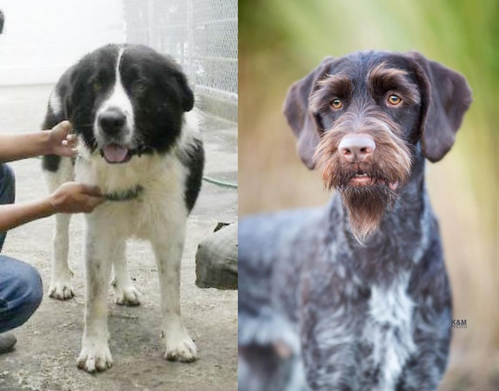 Mucuchies vs German Wirehaired Pointer