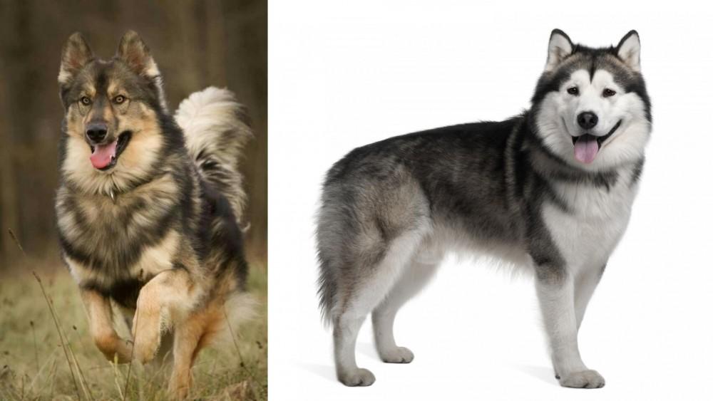 Native American Indian Dog vs Alaskan Malamute