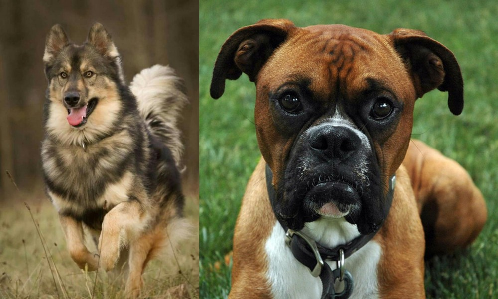 Native American Indian Dog vs Boxer