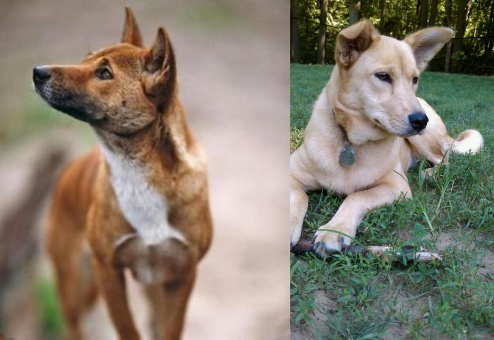 New Guinea Singing Dog vs Carolina Dog