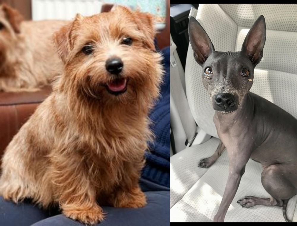 Norfolk Terrier vs American Hairless Terrier