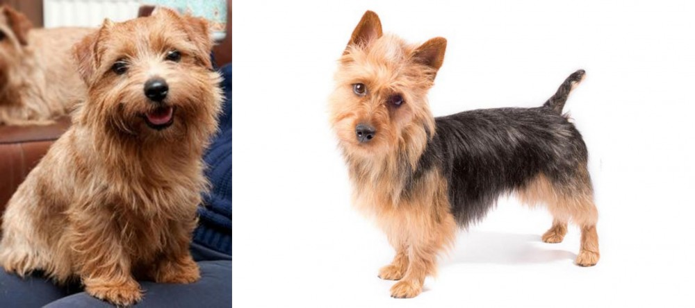 Norfolk Terrier vs Australian Terrier