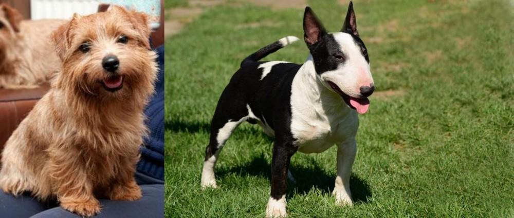 Norfolk Terrier vs Bull Terrier Miniature