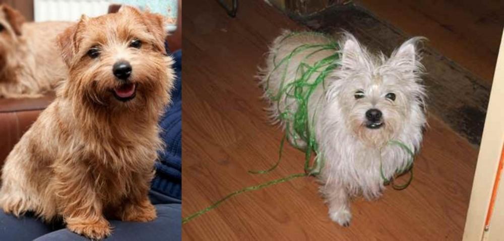 Norfolk Terrier vs Cairland Terrier