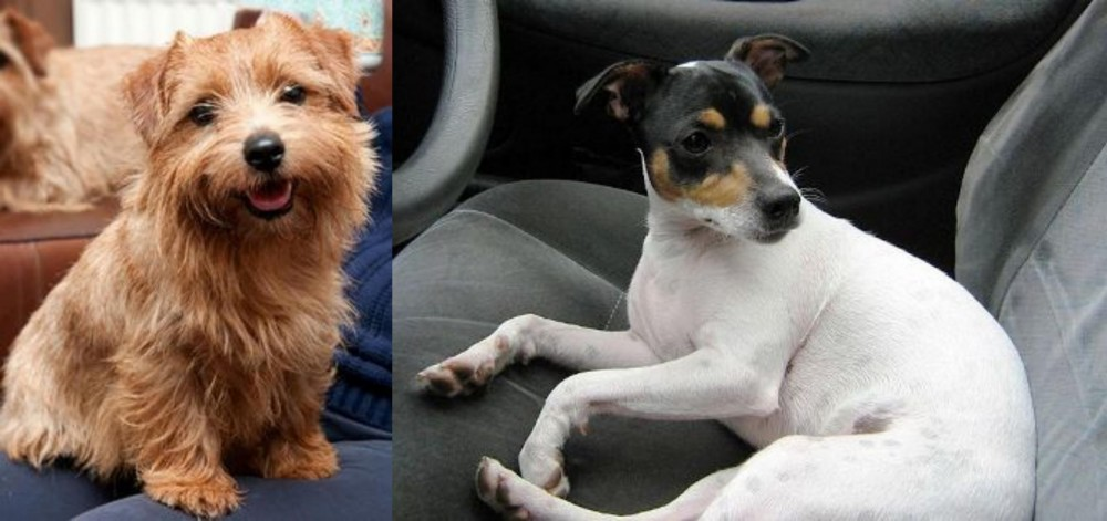 Norfolk Terrier vs Chilean Fox Terrier