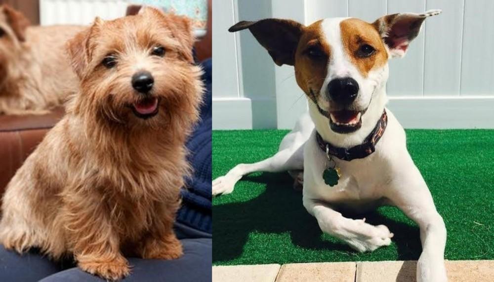 Norfolk Terrier vs Feist