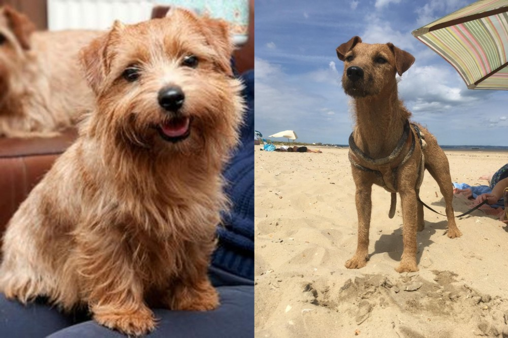 Norfolk Terrier vs Fell Terrier
