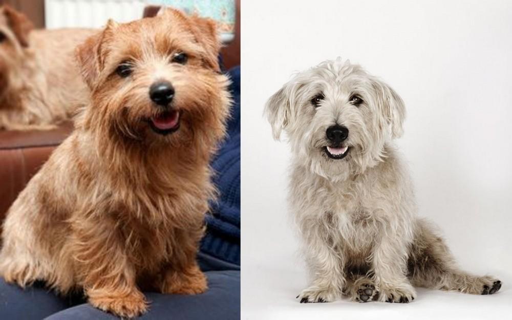 Norfolk Terrier vs Glen of Imaal Terrier
