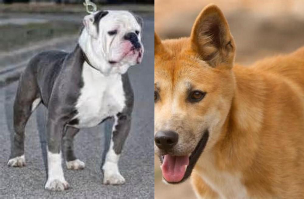 Old English Bulldog vs Dingo