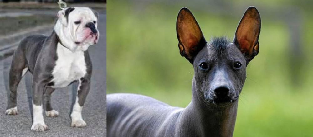Old English Bulldog vs Mexican Hairless