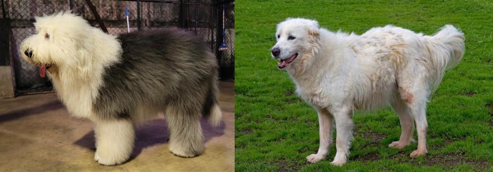 Old English Sheepdog vs Abruzzenhund