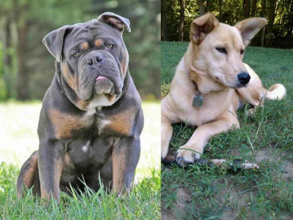 Olde English Bulldogge vs Carolina Dog