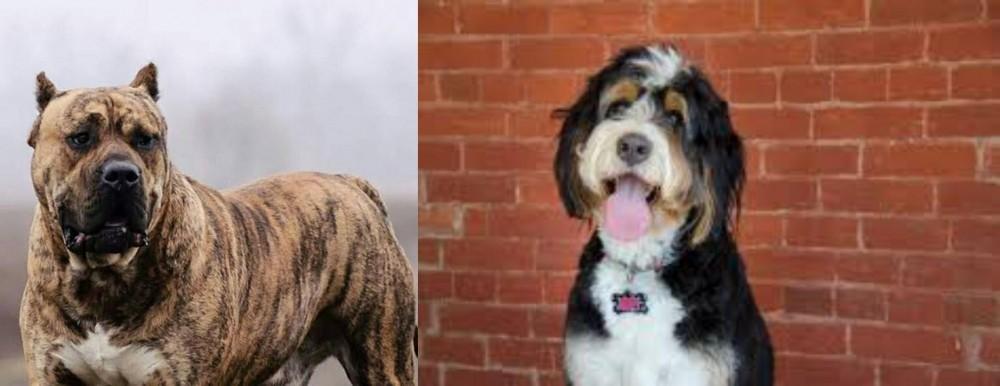 Perro de Presa Canario vs Bernedoodle