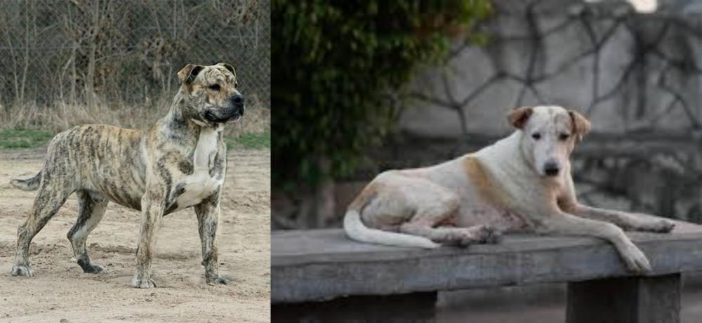 Perro de Presa Mallorquin vs Askal