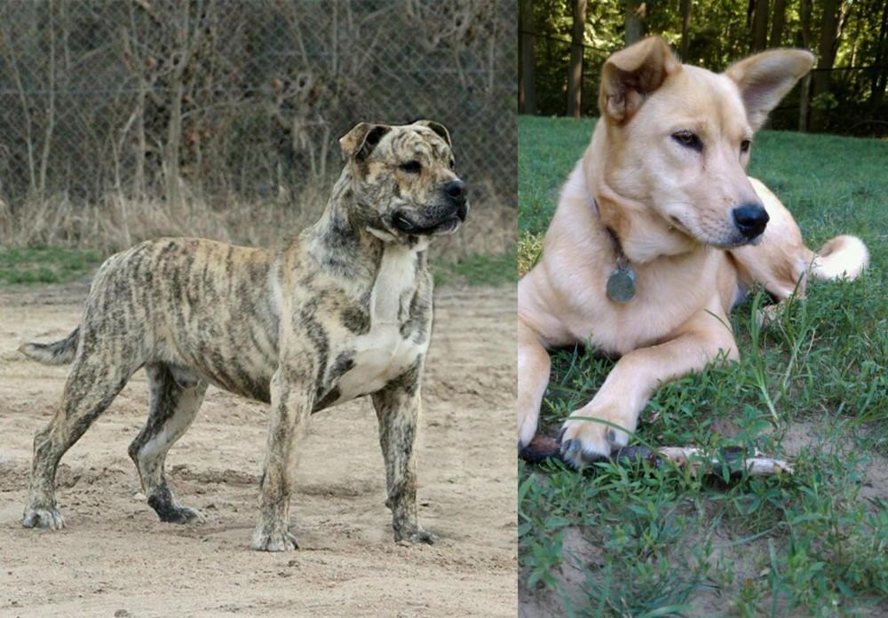 Perro de Presa Mallorquin vs Carolina Dog